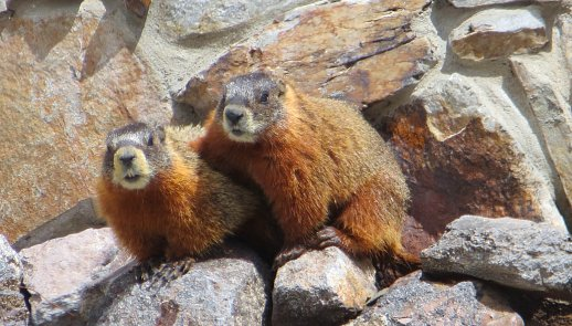 Marmots in Wyoming